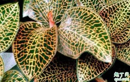 金线莲多少钱一斤 金线莲哪里的品种最好3